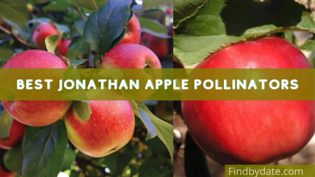 jonathan apple tree information